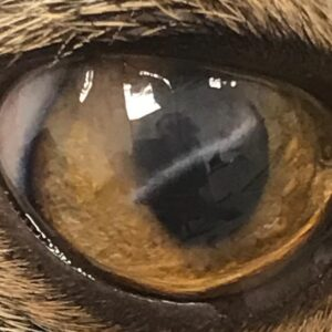 Corneoconjunctival transposition on a cat with corneal sequestrum